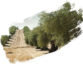 Olive Groves (UNESCO Unique)
